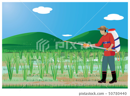 agriculturist sprays rice plant in paddy field 50780440