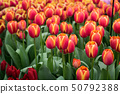 Red Dutch tulips in a flower bed 50792388