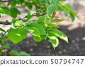 柿叶 50794747