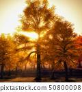 Beautiful beech canopy road 50800098