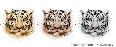 Tigers vector watercolor. Wildlife annimals 50800363