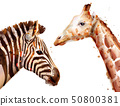 zebra and giraffe Vector watercolor. wildlife 50800381