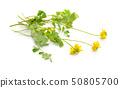 Yellow coronilla flowers. Isolated on white 50805700