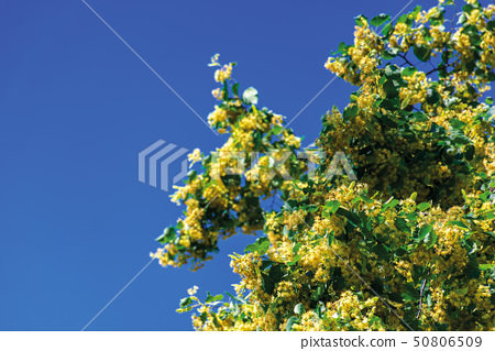branches of blossoming linden 50806509