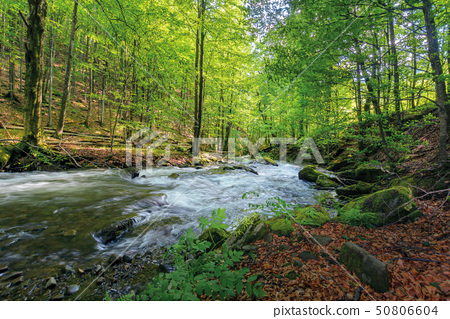 wild rapid river in the ancient beech forest 50806604