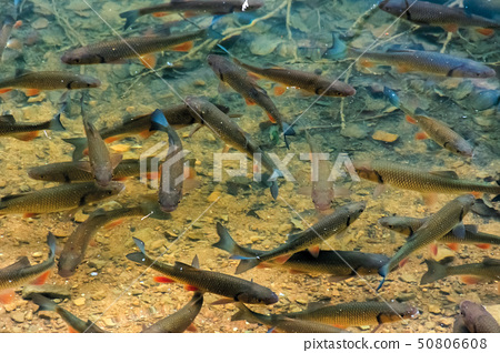 trout on the bottom of the lake 50806608