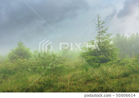 spruce tree on a meadow in fog 50806614