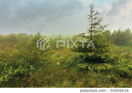 spruce tree on a meadow in fog 50806616