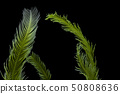 Saltwater Caulerpa taxifolia, Killer Algae 50808636