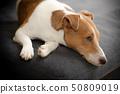 สุนัขนอนบนโซฟา 50809019