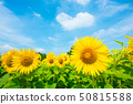 sunflower 50815588