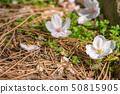 벚꽃 구경 50815905