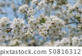 Bee collecting pollen on cherry blossom 50816312