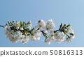 A branch of blossoming cherry against a blue sky 50816313