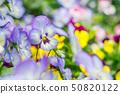 許多五顏六色的蝴蝶花花 50820122