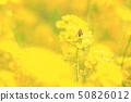 유채 꽃과 꿀벌 50826012