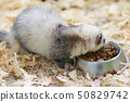 Light gray ferret eats from the trough 50829742