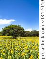 국영 히타치 해변 공원 해바라기 밭 50842049