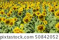 국영 히타치 해변 공원 해바라기 밭 50842052