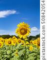 국영 히타치 해변 공원 해바라기 밭 50842054