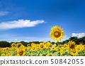 국영 히타치 해변 공원 해바라기 밭 50842055