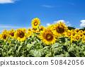 국영 히타치 해변 공원 해바라기 밭 50842056