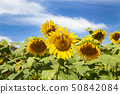 국영 히타치 해변 공원 해바라기 밭 50842084