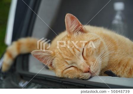 고양이 도둑 고양이 · 차 호랑이 챔 보우 · 수컷 · 쾌청 · 오월 · 한가로이 · 낮잠 · 자기 50848739