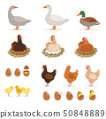Chicken brood hen, ducks and other farm birds and his eggs. Vector illustrations set in cartoon 50848889