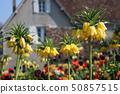 Stunningly bloomed Fritillaria Imperial 50857515