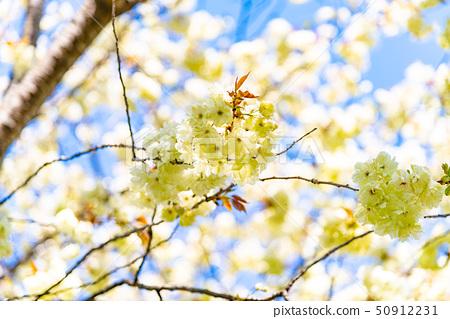 울금 벚꽃 50912231
