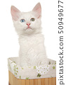 Turkish Angora kitten sitting in a basket 50949677
