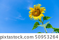 blooming Sunflower. Plant and tree with natural 50953264