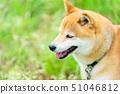 Shiba Inu狗在綠色背景國內狗日本狗一般狗步行戲劇 51046812