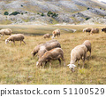 Flock of sheep on pasture 51100529