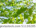 계수 나무 잎 : 신록 51130285