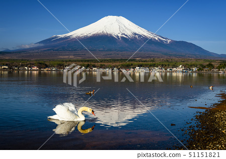 White swan look for food with mount Fuji 51151821