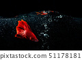 Beta Fish, Fighting Fish in watter with bubbles 51178181
