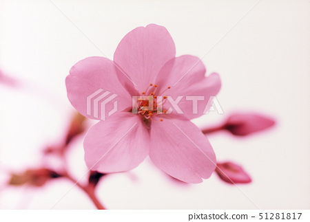 Close-up of pink flowers 51281817