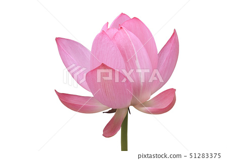 Japan, Water lily against white background, close-up 51283375