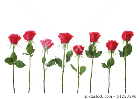 Row of red roses against white background, close-up 51283546