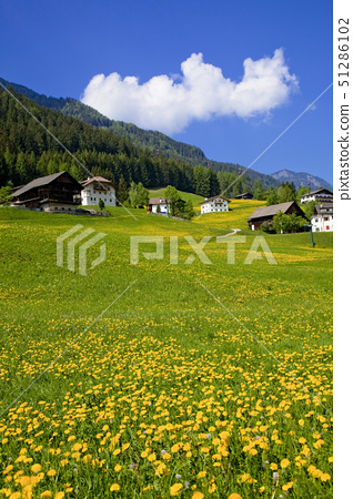dandelion field, the dolomites district, italy 51286102