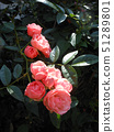 Salmon pink cup blooming roses 51289801