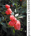 Salmon pink cup blooming roses 51289804