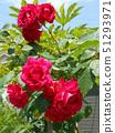 一朵大红玫瑰 51293971