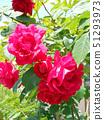 一朵大红玫瑰 51293973
