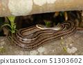 줄무늬 뱀, 나무에 とぐろ을 감는 51303602