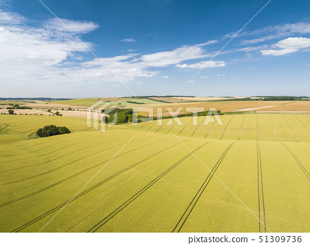 Aerial view of ripening wheat crop fields on farm under blue sky and white clouds on farm 51309736