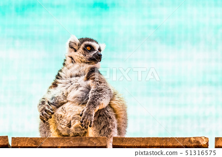 Fatty funny lemur 51316575