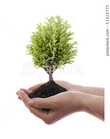 Growing green tree in hands isolated on white background 51328775